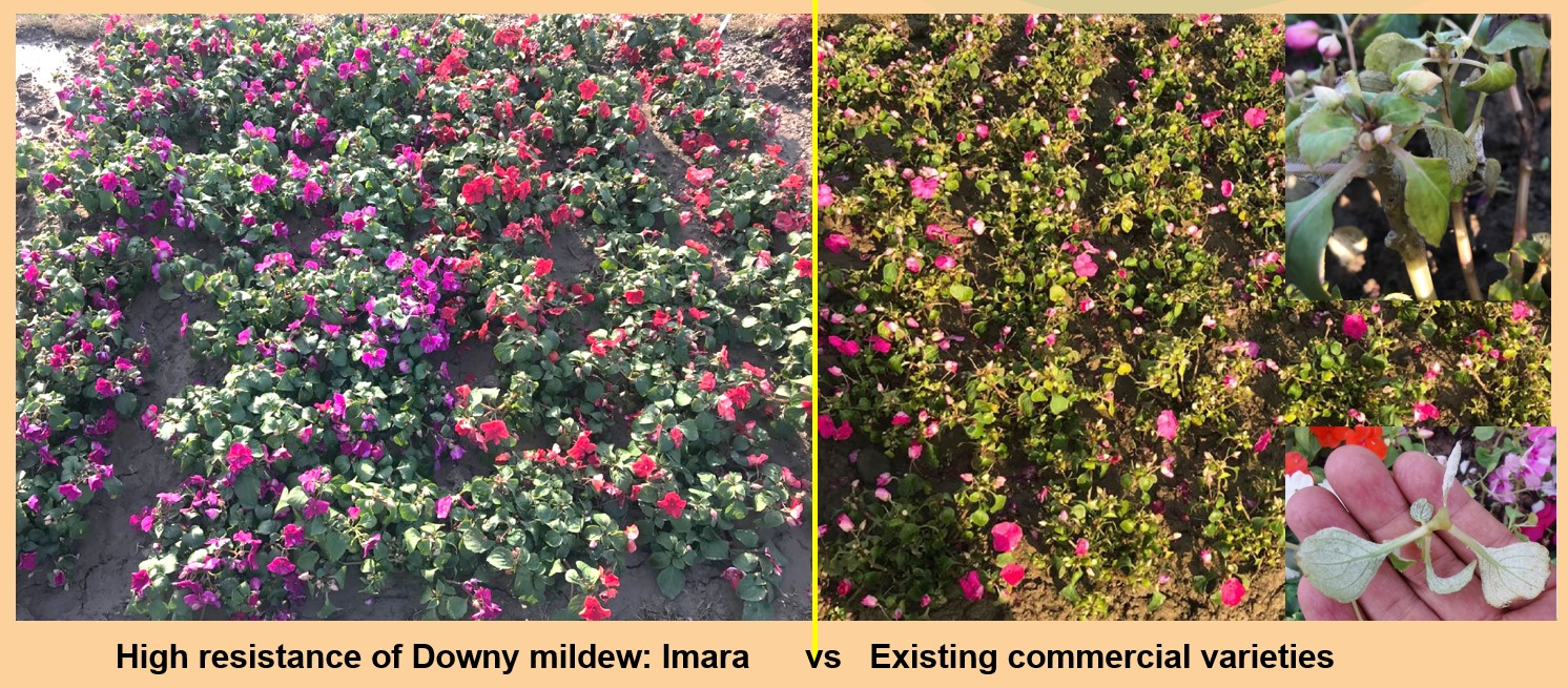 Imara comparison trials Downey Mildew at Shanghai Yuanyi open days