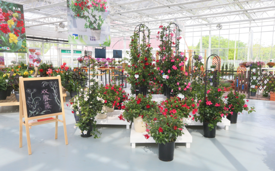 Mandevilla Rio at Shanghai Yuanyi open days