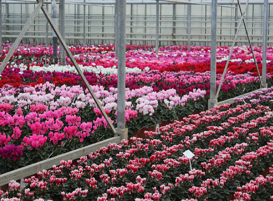 Greenhouse with cyclamen