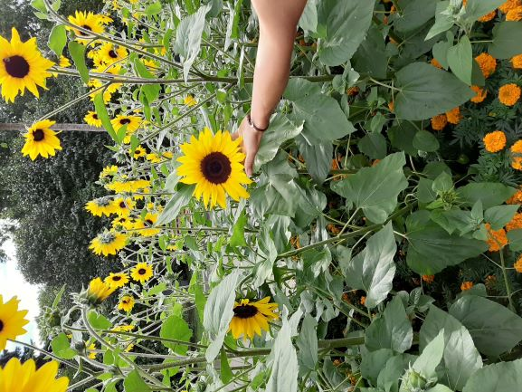 Sunfinity impresses visitors in Gorky Park 2 - Moscow - Russia - A Syngenta Flowers product