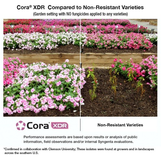 Cora XDR clearly performs better in trial compared to non-resistant varieties - Garden setting with NO funcgicides applied to any variety