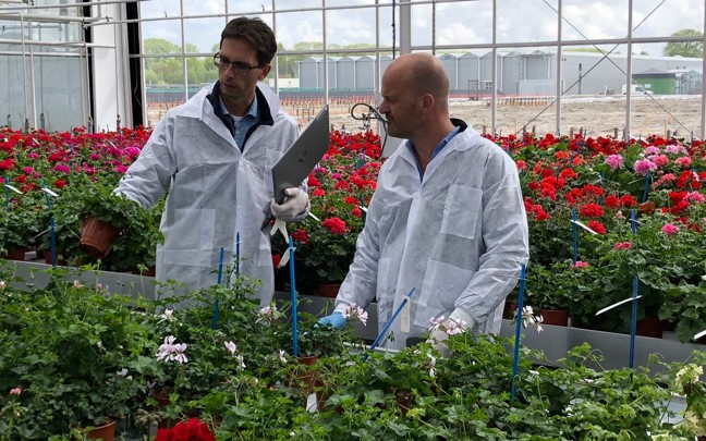 Selections in greenhouse by breeder Ronald Snijder and product manager Edwin Oortwijn