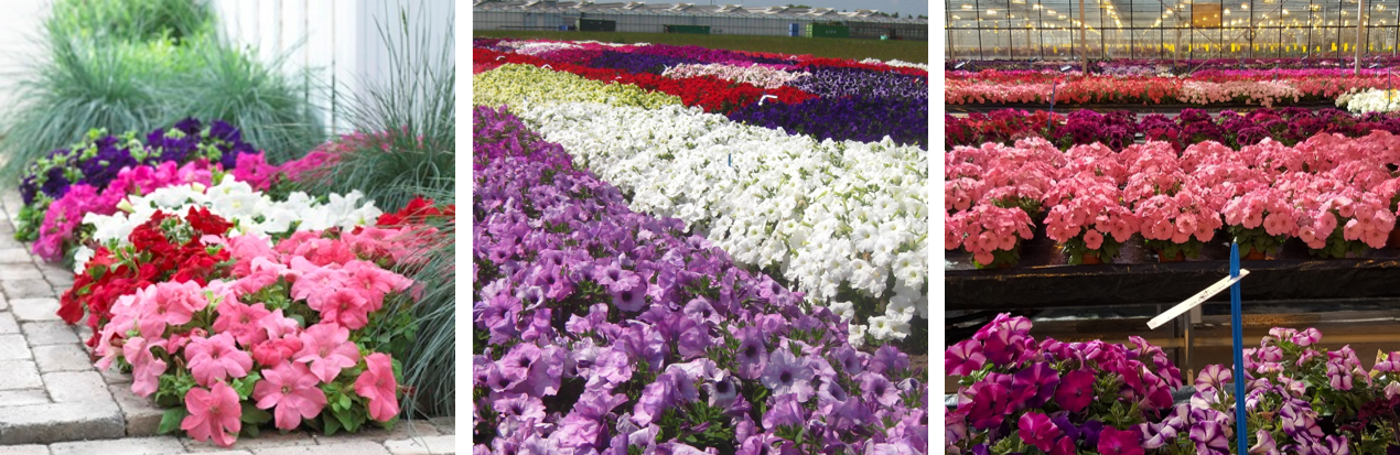 A suitable Petunia for all places in the world | Syngenta Flowers