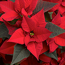 Pointsettia Vega Red