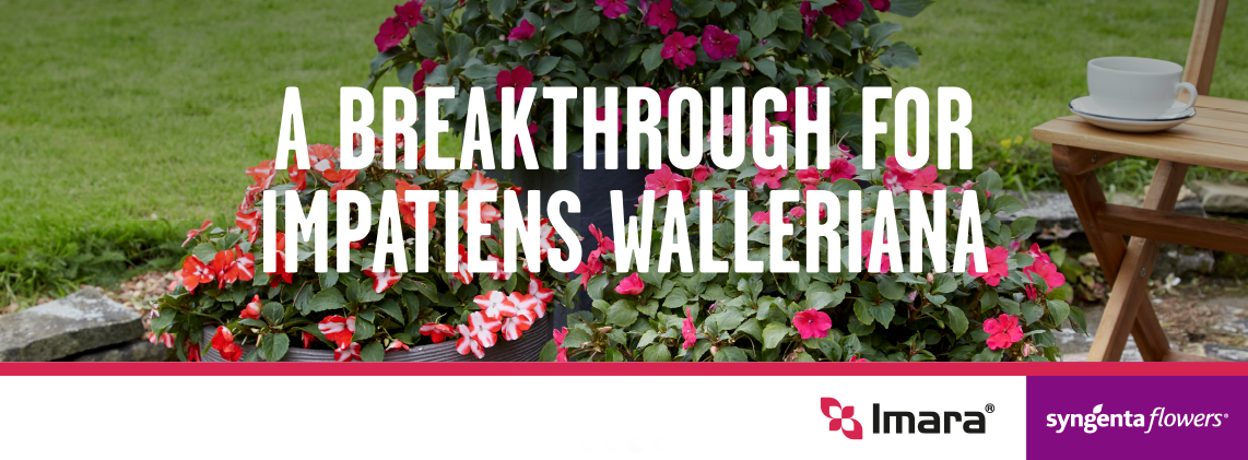 A breakthrough for impatiens wallerina
