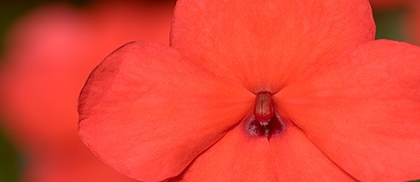 Behind the breakthrough: Extensive trialling leads Syngenta Flowers to resilient Imara impatiens walleriana