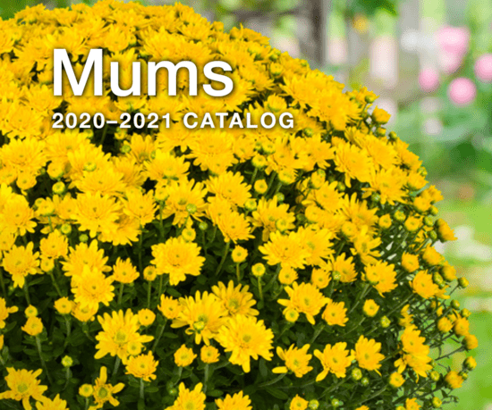 Syngenta Flowers Business International - Mums Collection - Catalog 2020