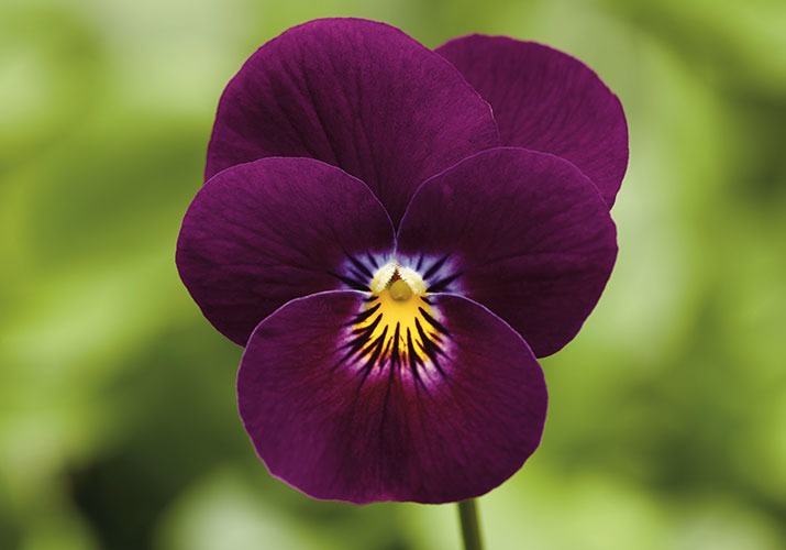 Product Spotlight - Do it Right! Viola and Pansy