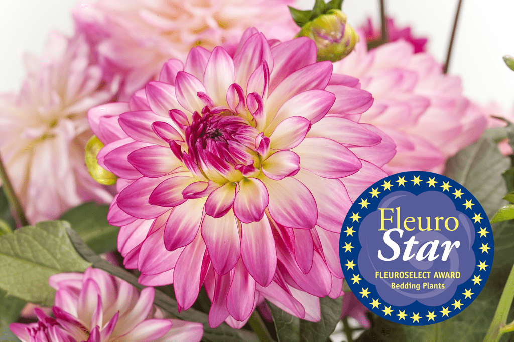 Dahlia Sincerity FleuroStar Award